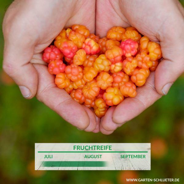 Moltebeere - Sumpfbrombeere Rubus chamaemorus Bild