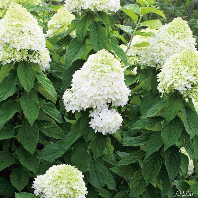 Rispenhortensie 'Limelight' Hydrangea paniculata