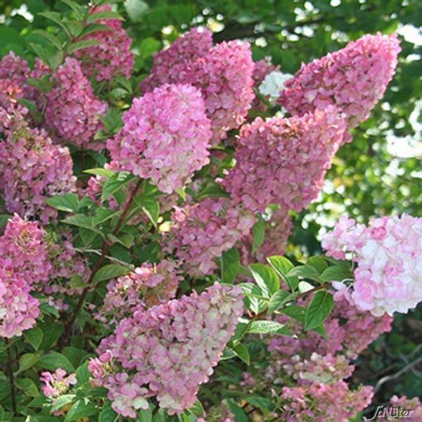 Rispenhortensie 'Sundae Fraise®' Hydrangea paniculata 'Sundae Fraise®' Bild