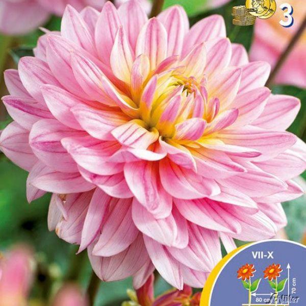 Beetdahlie 'Pink Magic' Dahlia 'Pink Magic' Bild