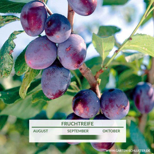 Zwetsche 'Jojo ®' Prunus domestica 'Jojo' Bild