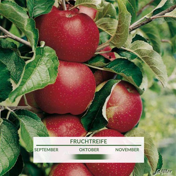 Zwerg-Apfel 'Roter Berlepsch' Malus 'Roter Berlepsch' Bild