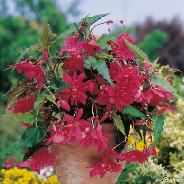 Hängebegonie 'Pendula Pink' - 3 Stück Begonia Pendula 'Pink' Bild