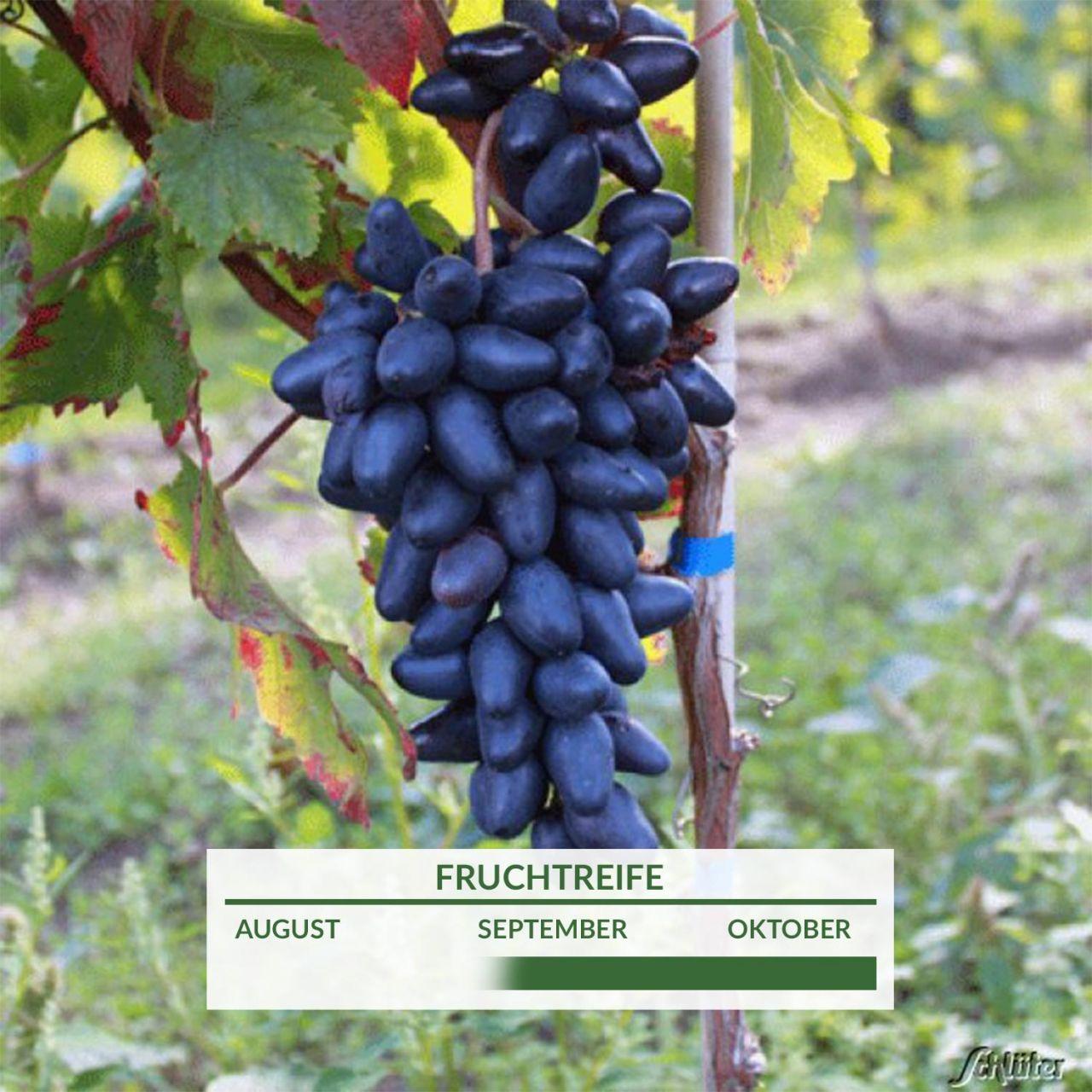 Weintraube mit dattelförmigen, leckeren Früchten