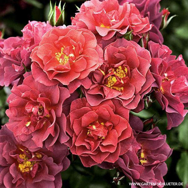 Strauchrose 'Cinco de Mayo®/Celebration Time®' Rosa 'Cinco de Mayo®/Celebration Time®' Bild