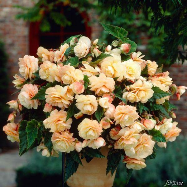Begonie 'Multiflora Champagne' - 1 Stück Begonia Bild
