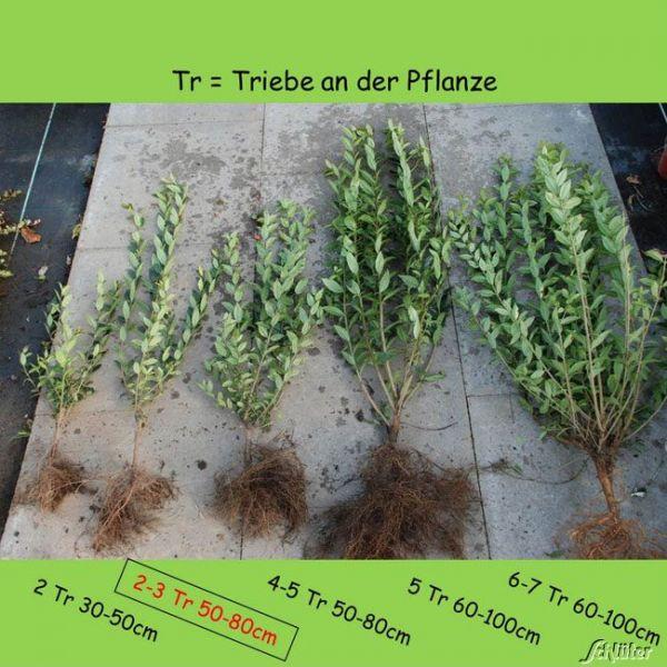 Wurzelnackte Pflanze, 50-80 cm, 2-3 Triebe, 10 Pflanzen, 10 Stück