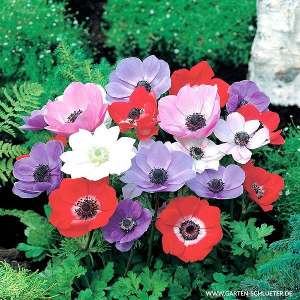 Garten-Anemone 'De Caen' - Mischung - 15 Stück Anemone coronaria 'De Caen Mischung' Bild