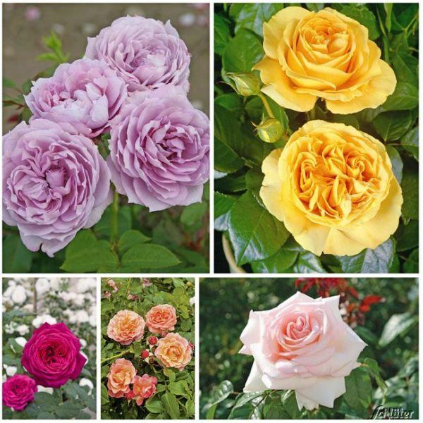Rosen-Set 'Farbenspiel' Rosa Bild