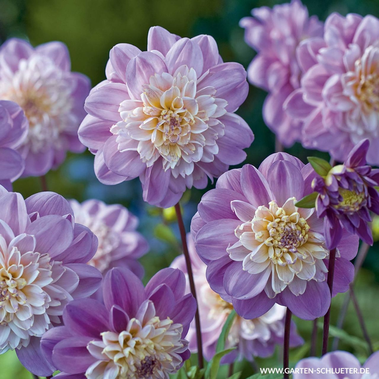 Anemonen-Dahlie 'Take off'