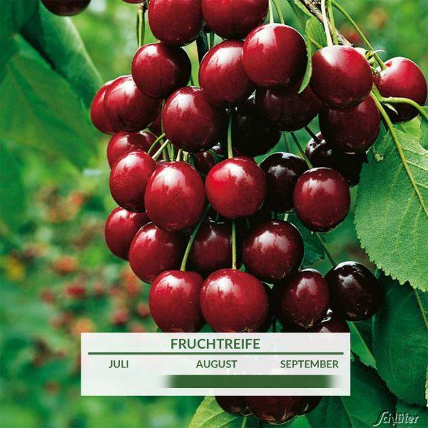 Sauerkirsche 'Morellenfeuer' Prunus cerasus 'Morellenfeuer' Bild