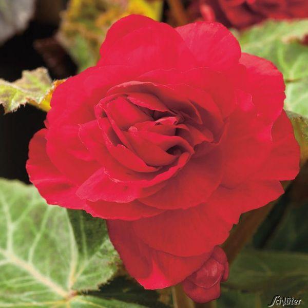 Riesenblütige Begonie 'Grandiflora' rot - 3 Stück Begonia Grandiflora Bild