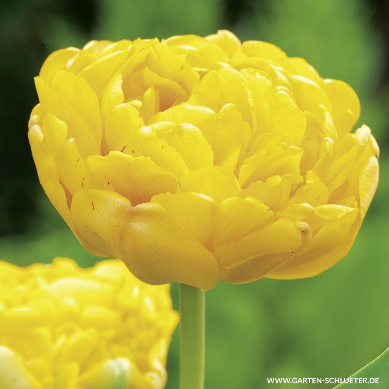 Garten-Schlueter.de: Tulpe Yellow Pompenette - 7 Stück