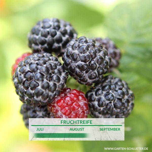 Schwarze Himbeere 'Munger' Rubus idaeus 'Munger' Bild