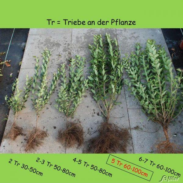 Wurzelnackte Pflanze, 80 - 100 cm, 5 Triebe, 5 Pflanzen, 5 Stück