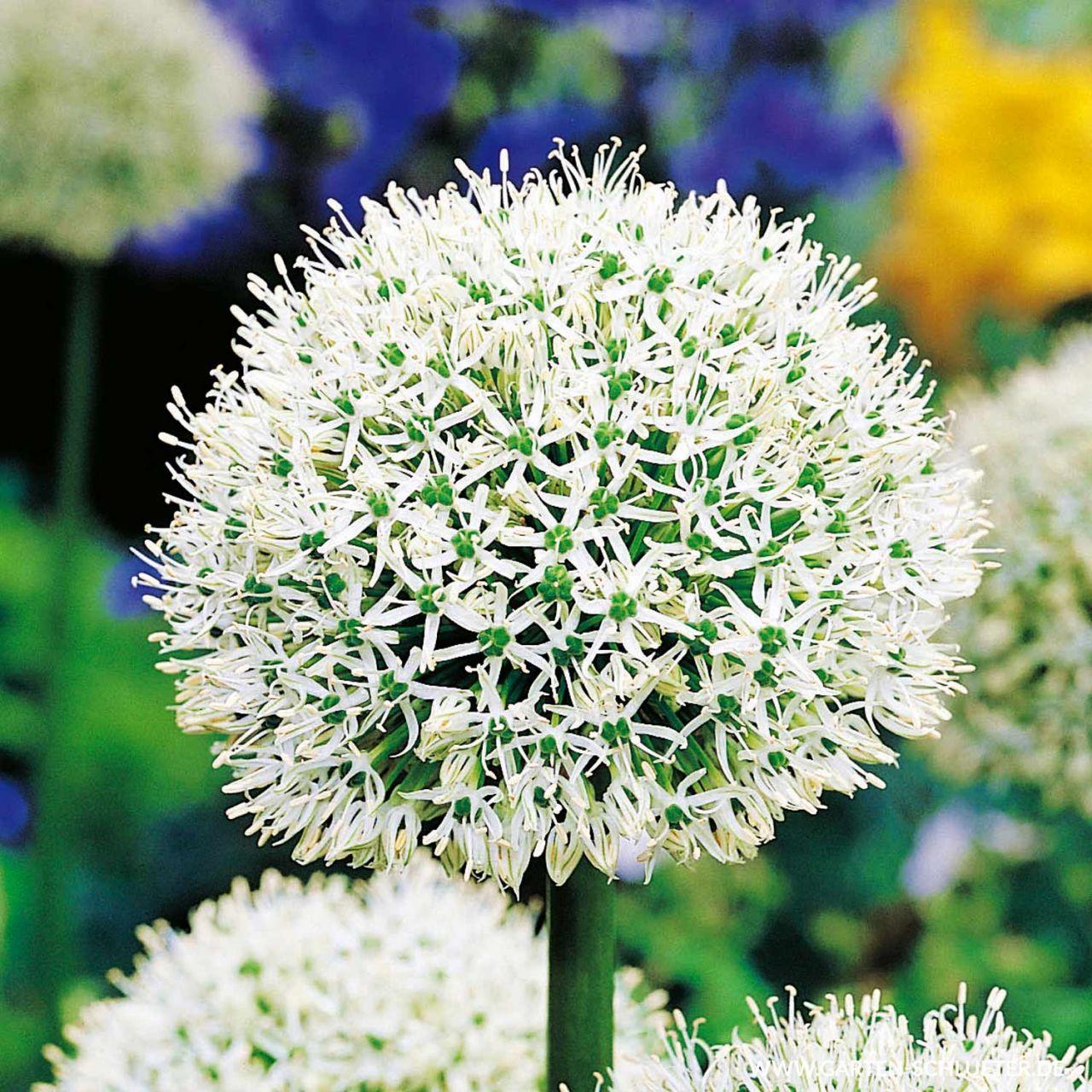 Allium 'Mont Blanc' - 1 Stück