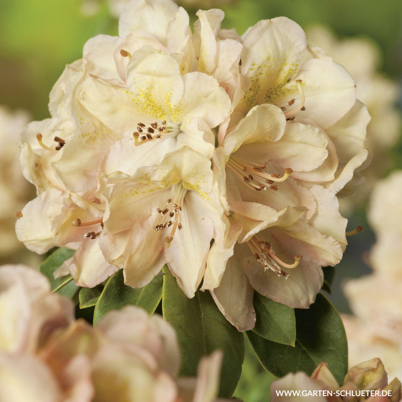 Garten-Schlueter.de: Rhododendron Belkanto