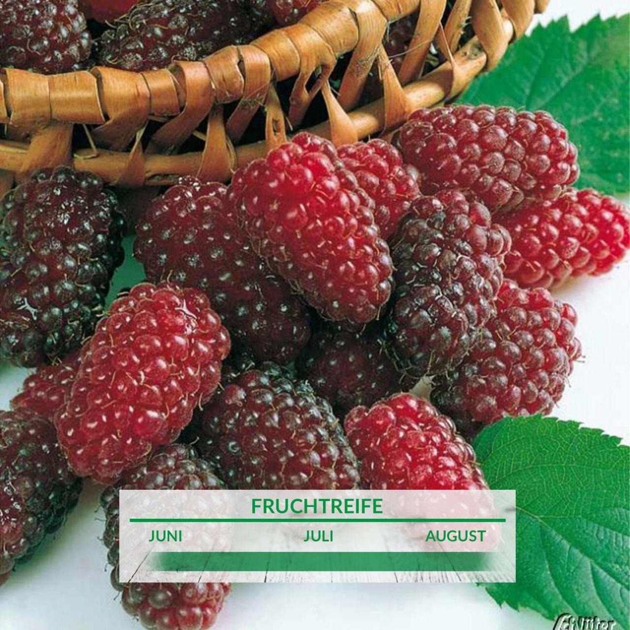 Him-Brombeere 'Tayberry Medana'