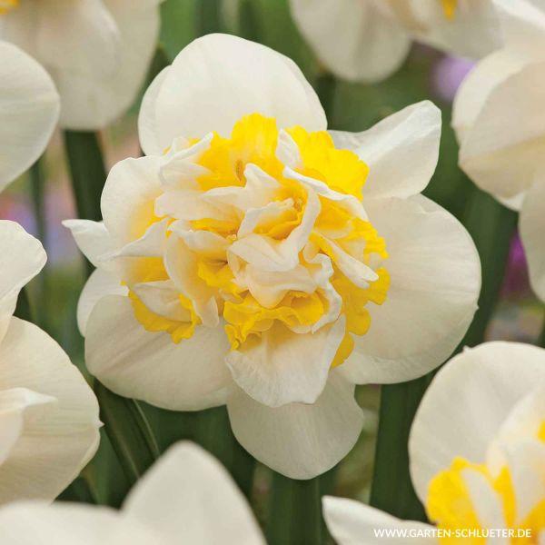 Gefüllte Narzisse 'Westward' - 5 Stück Narcissus 'Westward' Bild
