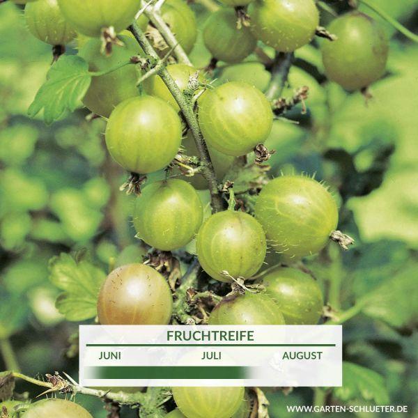 Stachelbeere 'Reverta' Ribes uva-crispa 'Reverta' Bild