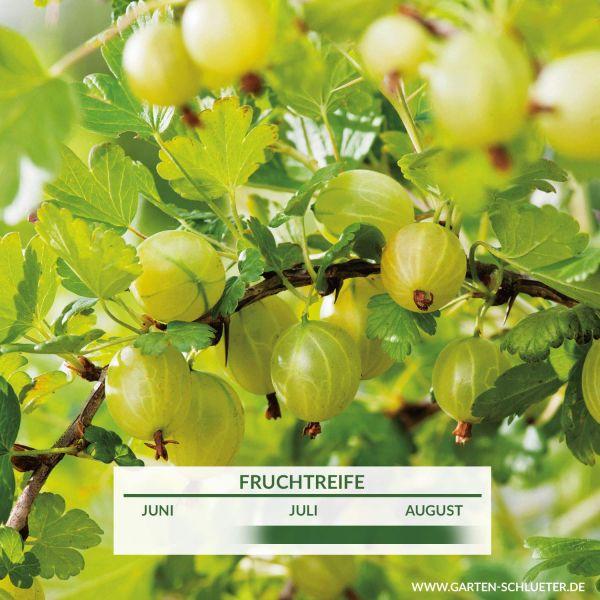 Stachelbeere 'Rixanta' Ribes uva-crispa 'Rixanta' Bild