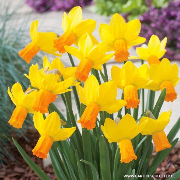 Mini-Narzisse 'Jetfire' - 5 Stück Narcissus 'Jet Fire' Bild