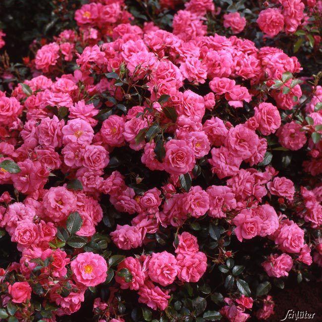 Beetrose 'Bad Birnbach®' ADR - Rose