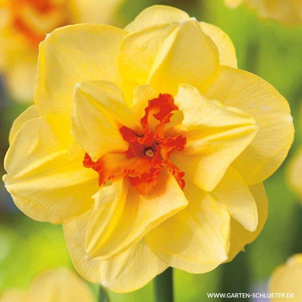 Gefüllte-Narzisse 'Tahiti' - 5 Stück Narcissus 'Tahiti' Bild