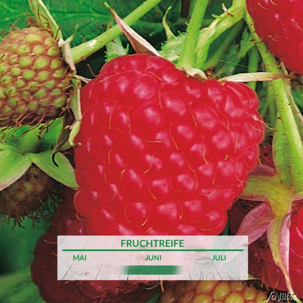 Himbeere 'TulaMagic®' Rubus idaeus Bild