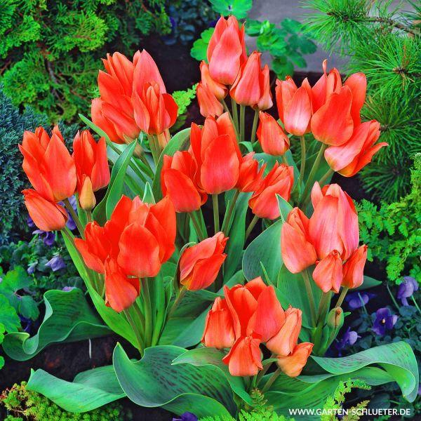 Mehrblütige Tulpe 'Toronto' - 10 Stück Tulipa 'Toronto' Bild
