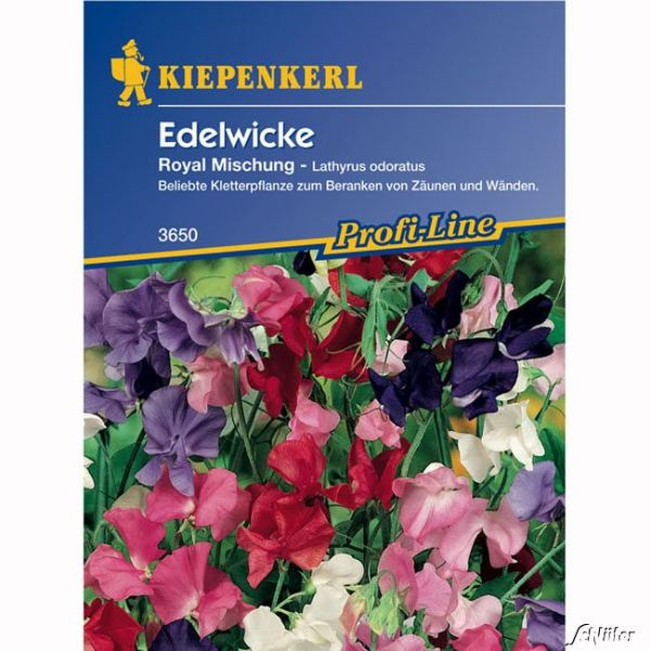 Wicke (Edelwicke) 'Royal' Lathyrus odoratus Bild