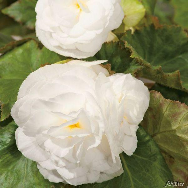 Begonie 'Grandiflora Weiß' - 3 Stück Begonia Grandiflora Bild