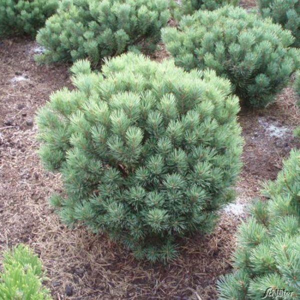 Strauch-Waldkiefer 'Watereri' Pinus sylvestris 'Watereri' Bild