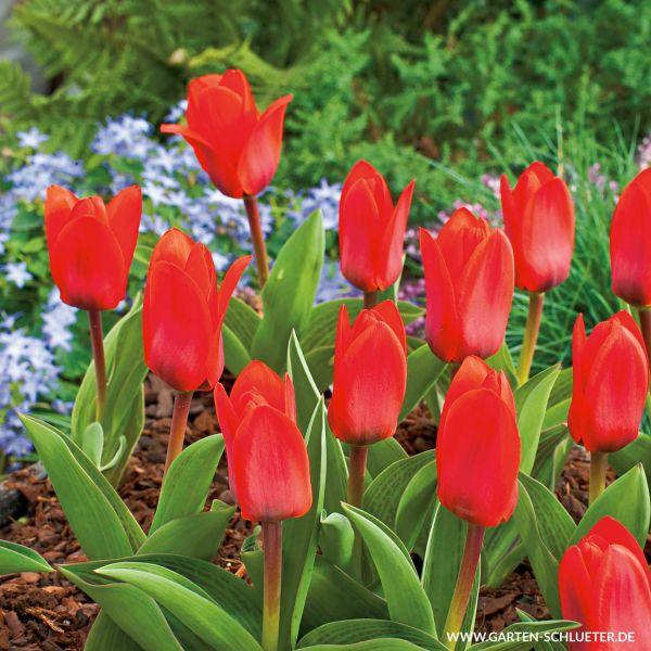 Botanische Tulpe 'Showwinner' - 7 Stück Tulipa kaufmanniana 'Showwinner' Bild