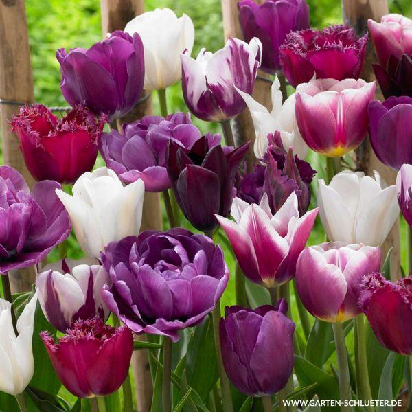 Tulpen-Mischung 'Blueberry' - 15 Stück Tulipa Bild