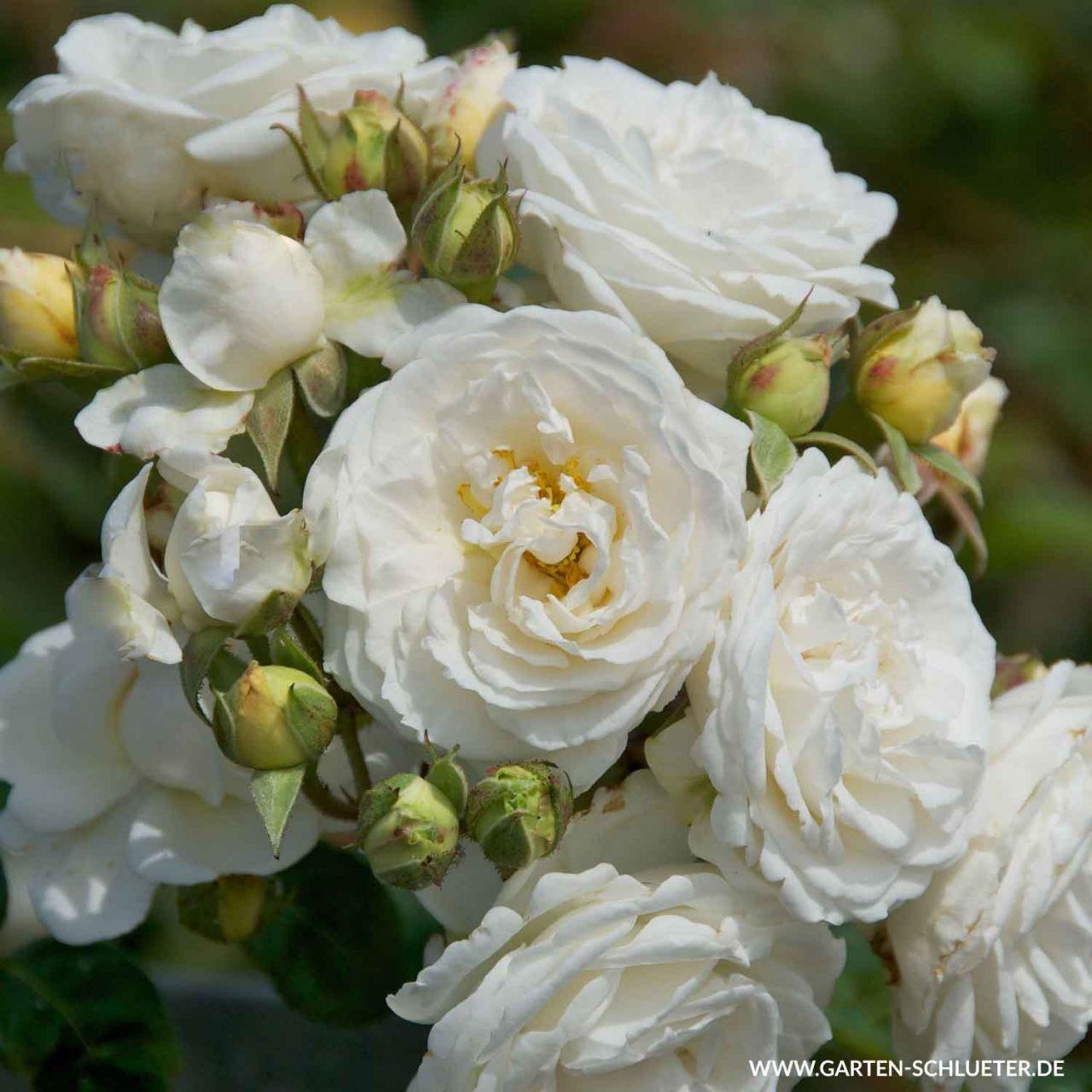 Kletterrose 'Perfume Dreams®'