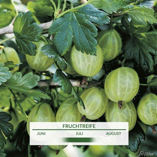 Stachelbeere 'Karlin' Ribes uva-crispa 'Karlin' Bild