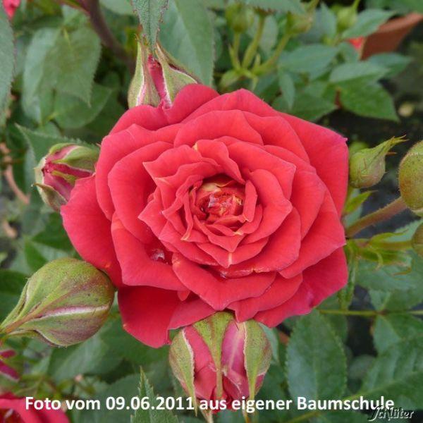 Zwergrose 'Chili Clementine®' Rose 'Chili Clementien®' Bild