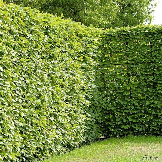 Weissbuche Hainbuche Carpinus Betulus Heckenpflanzen Garten