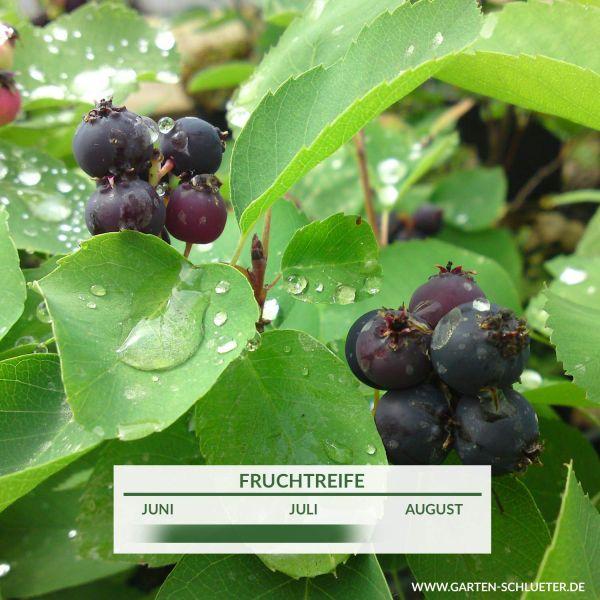 Erlenblättrige Felsenbirne 'Greatberry' Amelanchier Alnifolia 'Greatberry Fruity' Bild
