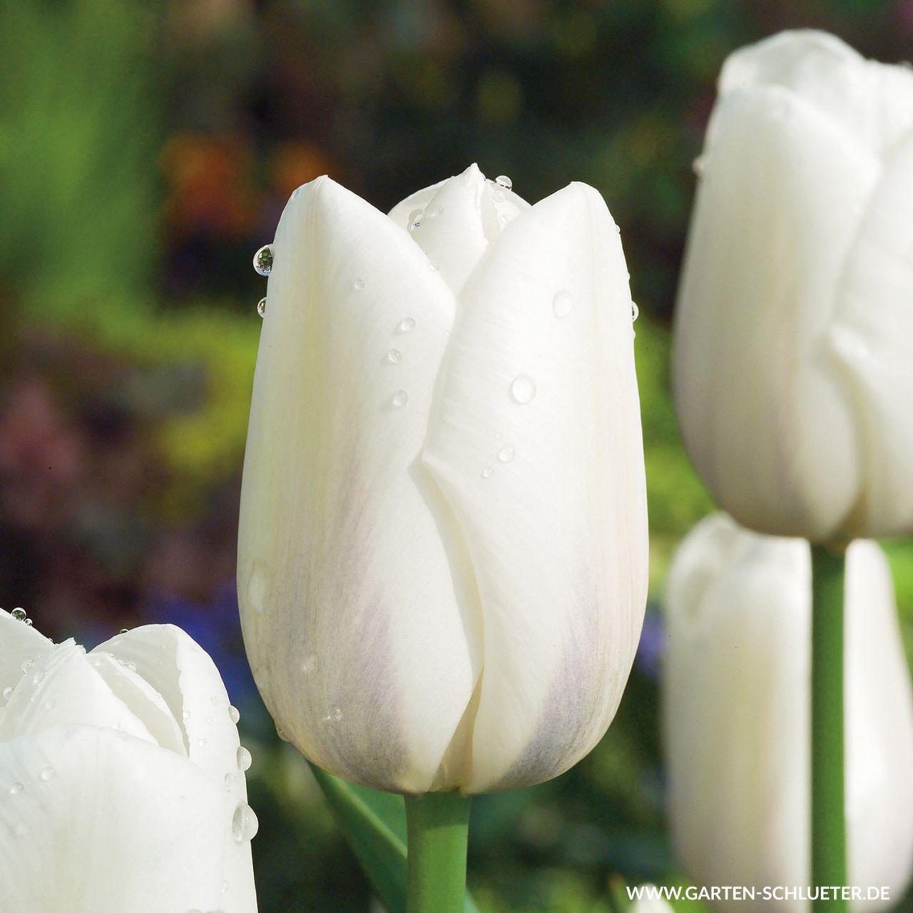 Garten-Schlueter.de: Einfache späte Tulpe Clearwater - 10 Stück