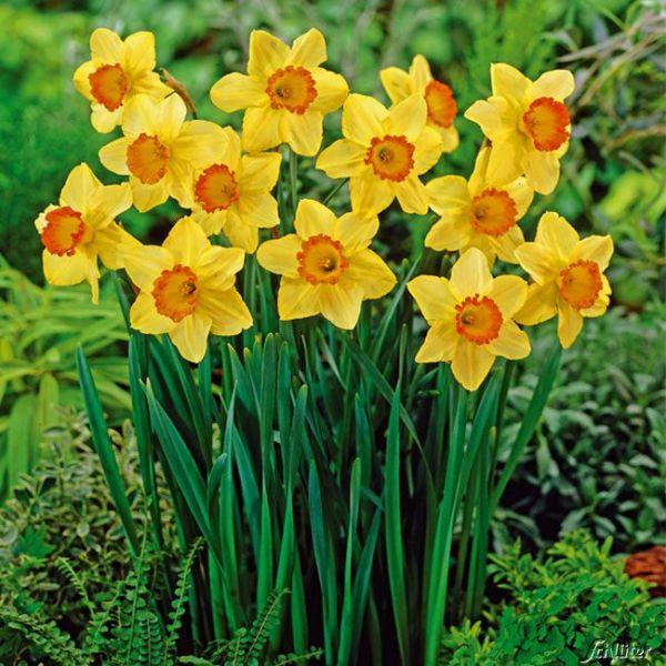 Narzisse 'Red Devon' - 5 Stück Narcissus pseudonarcissus Bild