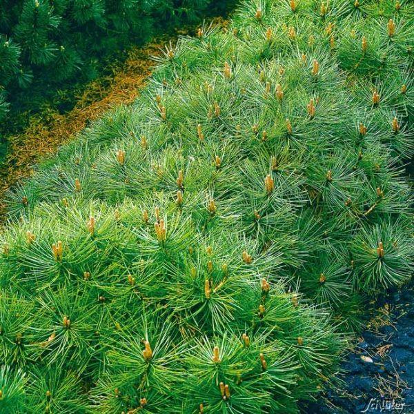 Zwerg-Heckenkiefer Pinus mugo mughus Bild
