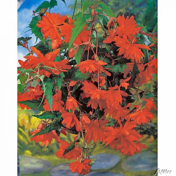 Hängebegonie 'Pendula Orange' - 3 Stück Begonia Bild