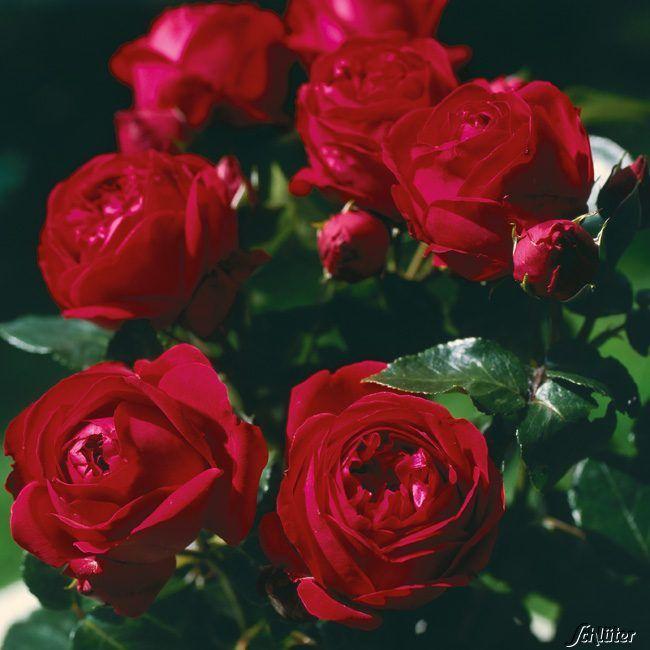 Garten-Schlueter.de: Stammrose Red Eden Rose - 90 cm Stamm