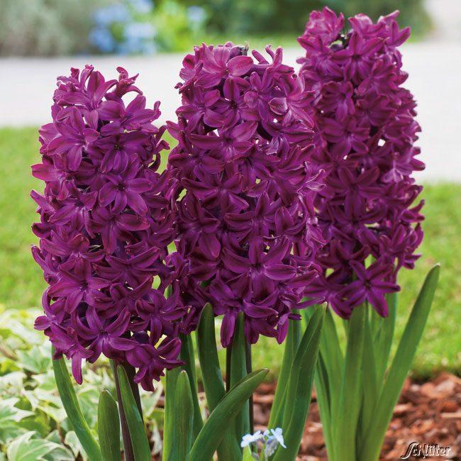hyazinthe 39 woodstock 39 5 st ck hyacinthus hyazinthen traubenhyazinthen garten schl ter. Black Bedroom Furniture Sets. Home Design Ideas