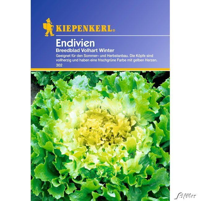 Endiviensalat 'Breedblad Vollhart Winter'