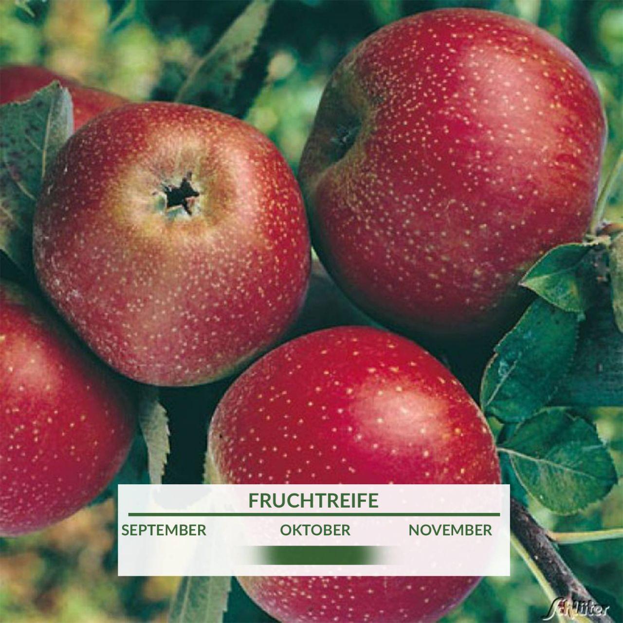 Zwerg-Apfel `Roter Boskoop` - Busch