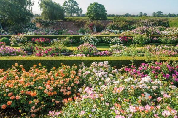 David_Austin_Roses_UK_Rennaisance_Garden