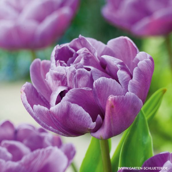 Gefüllte späte Tulpe 'Blue Diamond' - 7 Stück Tulipa 'Blue Diamond' Bild